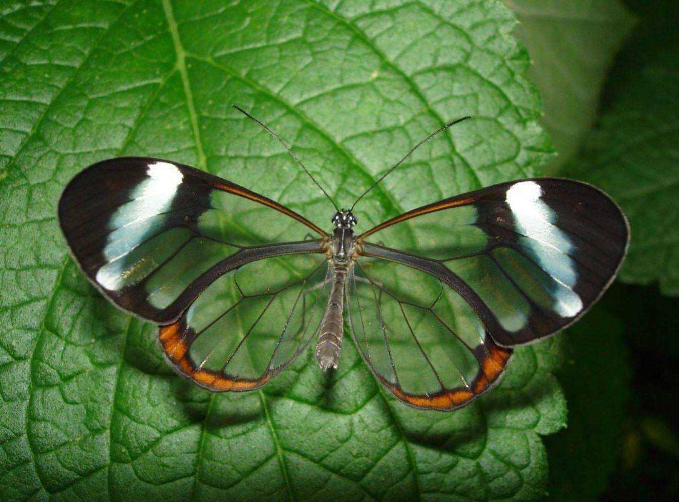 Что такое Бабочка Гартли
